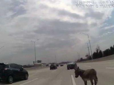Loose donkey snarls traffic on Chicago highway
