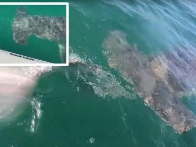 Wild video shows a 'monster' hammerhead shark stealing a 180-pound fish straight out of a fisherman's hands