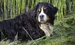 3 Amazing Ways To Honor A Bernese Mountain Who Passed Away