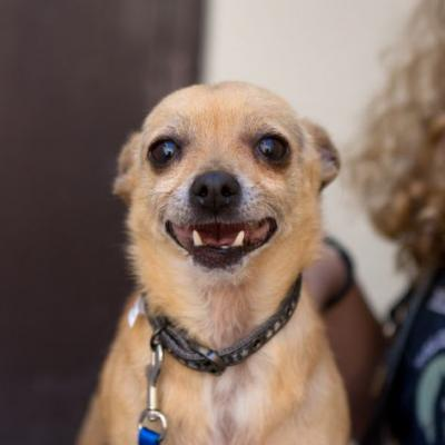 """FRANKLIN"" friendly Chihuahua mix"
