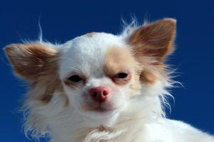 "Why Do Some Small Dogs Have ""Napoleon Syndrome""?"