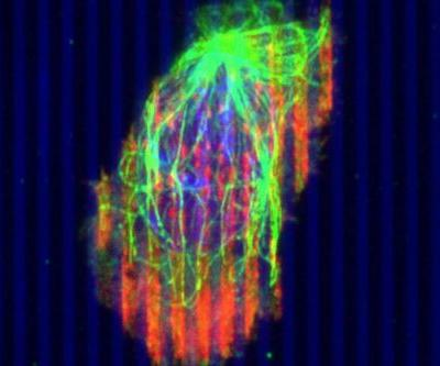Researchers engineer immune cells to fight tumors