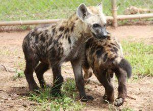 Animal Corner-Spotted Hyena