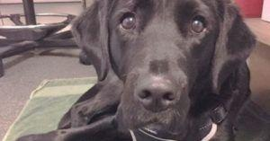 Labrador Kicked Out Of Guide Dog Training Ends Up Shining In New Career As A Therapy Dog