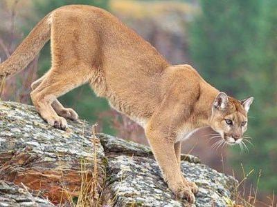'America's lion' needs wild space, less hunting, for a Northeast comeback | The Berkshire Eagle | Pittsfield Breaking News, Sports, Weather, Traffic