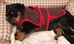 """9 Signs Your Rottweiler Dog is Actually Your """"Baby"""""""