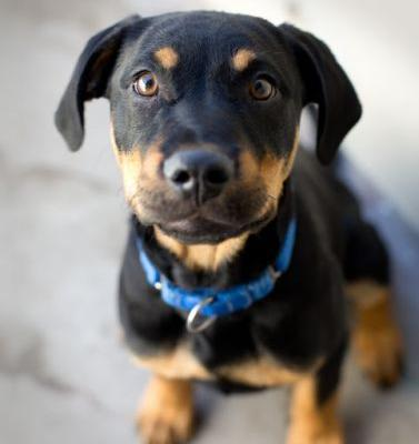 """ MORTY "" Rottie mix pup"