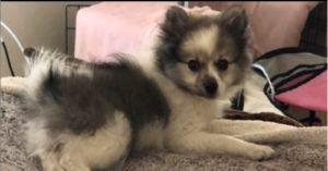 Stolen Pomeranian Puppy Sold on Craigslist Reunited with Her Mom