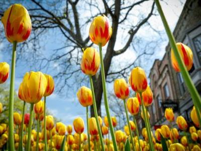 Tulip Time with a twist: Organizers announce 2021 events