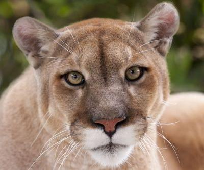 Man fights off, kills mountain lion that attacked him on Colorado trail