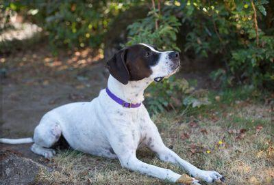 """CARL"" smart and willing German Shorthair pointer mix"