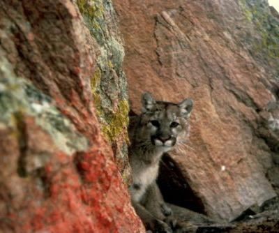 Analysis: Rat Poison Found in 85 Percent of Tested Mountain Lions, Bobcats, Fishers