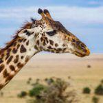 Giraffes Under Parasitic Attack?