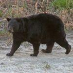 Alligator River National Wildlife Refuge Black Bears