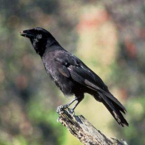 Something to Crow About: SMRT Sequencing Aids Conservation of Rare Hawaiian Bird