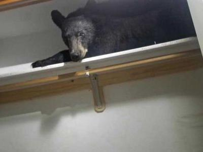 Bear enters home and settles in for a nap in the closet