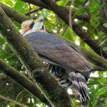 Hawk-Eagle Sweep in Costa Rica