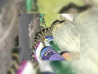 Florida woman pulls alligator out of her pants during traffic stop