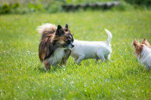 3 Things All Chihuahua Owners Should Know