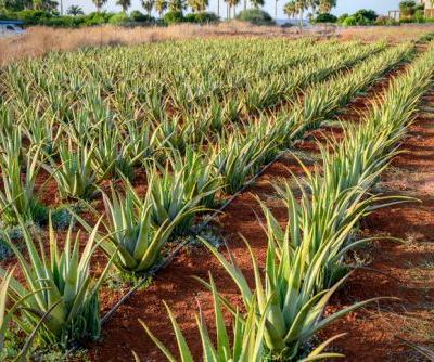 BAPP aloe document lays out common adulterants, best test methods for aloe