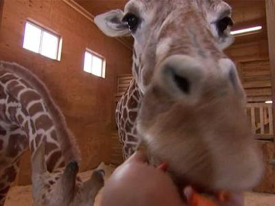 Tajiri, April the giraffe's son, turns 1 this weekend