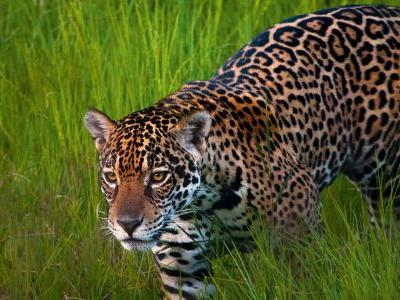 Queen of the Pantanal: On the trail of jaguars in Brazil