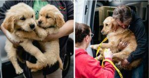 "28 Golden Retrievers Rescued From MA Breeder Were Living In ""Deplorable Conditions"""