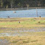 The return of Pied Herons to Broome