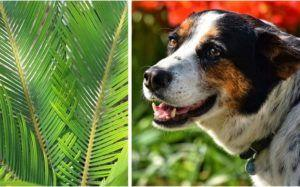 Sago Palms Are Toxic To Dogs & May Be Lurking In Your Neighborhood