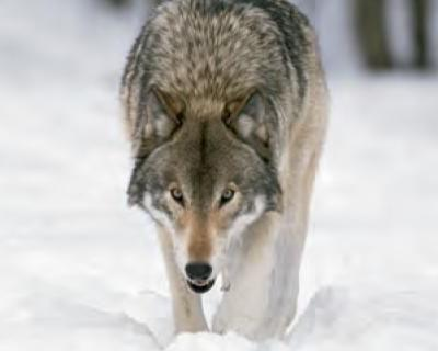 Animal Facts: Wolf