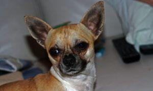 3 Amazing Ways To Honor A Chihuahua Who Passed Away
