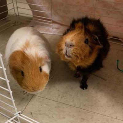 """""""NICK"""" and """"AARON CARTER"""" bonded Guinea PIGS"""