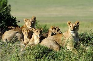 Poachers aiming for rhinos get killed by lions