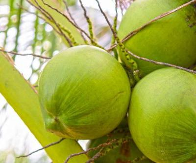 Is Coconut Water Better than Plain Water for Hydration During Exercise?