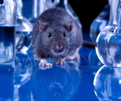 Probiotic and prebiotic combo may reduce obesity-related symptoms, rat study suggests