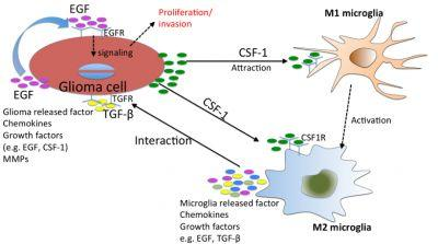 The Role of the Tumor Microenvironment in Glioblastoma: A Mathematical Model