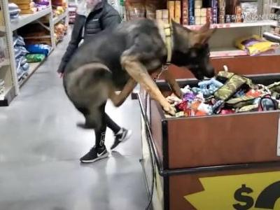 German Shepherd Makes Herself At Home In Store's Toy Bin