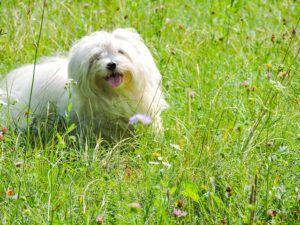 3 Things Your Maltese Loves More Than Anything