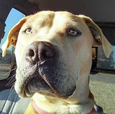 Adoption Monday: Dozer, Staffordshire Bull Terrier & Mastiff Mix , Page, AZ