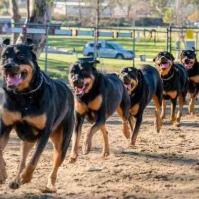 Learn 9 Wonderful Ways To Tire Out Your Rottweiler