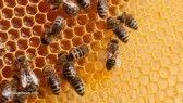 Researchers develop tiny robots that are able to blend into bee colonies and interact with them