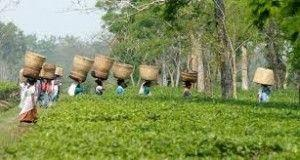 Tripura is keen to boost up its tourism around tea gardens