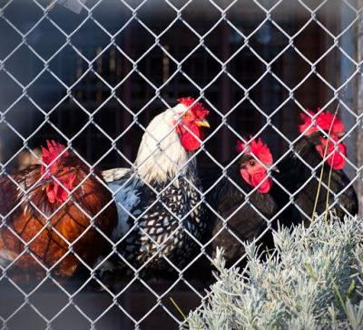 """""""ROOSTERS"""" Many Many Roosters! Wyandotte.Barred Rock.Rhode Isl Red.Plymouth Rock.Australorp"""