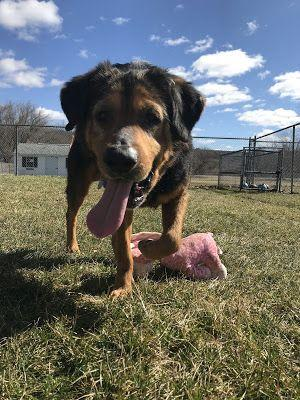Adoption Monday: Rusev, Rottweiler Mix, New Milford, CT