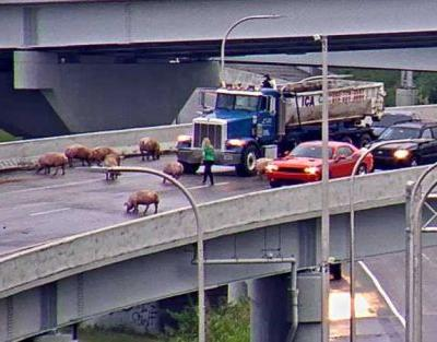 More than 100 pigs die after semi overturns on I-65 ramp in Louisville