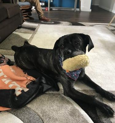 """YARA"" mastiff mix - Happy Adoption Photo Update!"