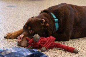 Mutilated Dog Has Healed His Wounds And Now Needs The Love Of An Incredible Family