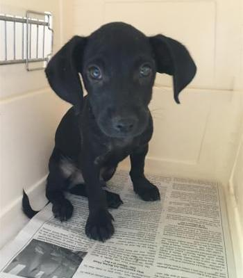 """""""ACE"""" very adorable Doxie/chi? mix PUPPY"""