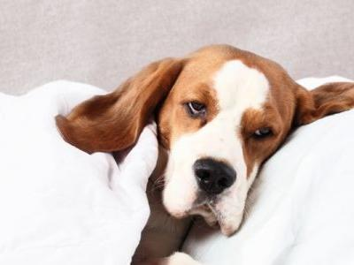 Can Dogs Get Colds? How To Spot And Treat Dog Colds, Flu And Kennel Cough