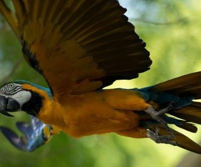 Rio's de Janeiro's last wild macaw is lonely and looking for love